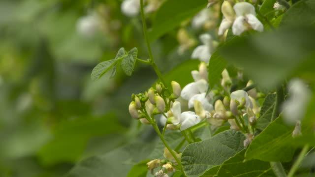 flowering runner bean crop on farm, uk - runner bean stock videos & royalty-free footage