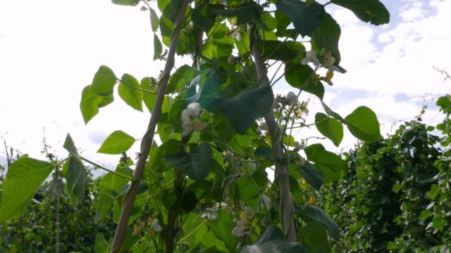 flowering runner bean crop on farm, uk - green stock videos & royalty-free footage