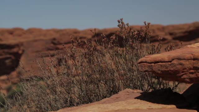 flowering shrubs, king's canyon  national park, nt - bush stock videos & royalty-free footage