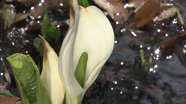 vídeos de stock e filmes b-roll de flowering skunk cabbage by shallow stream, maebashi, gunma - estame