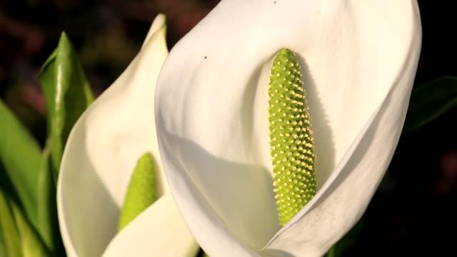 a flowering skunk-cabbage in holehird gardens, windermere, cumbria, uk. - pistil stock videos & royalty-free footage