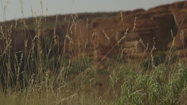 vidéos et rushes de flowering spinifex grass, red centre, nt - extreme close up