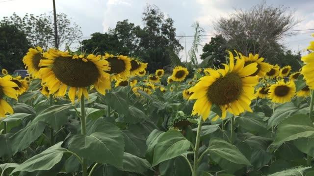 vídeos de stock e filmes b-roll de flowering sunflowers field - estame