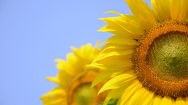 flowering sunflowers on a background blue sky. - sunflower stock videos and b-roll footage