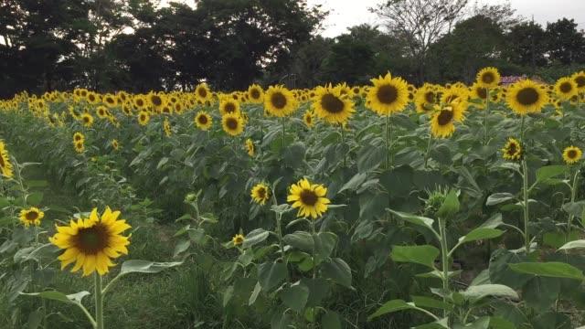 vídeos de stock e filmes b-roll de flowering sunflowers - estame