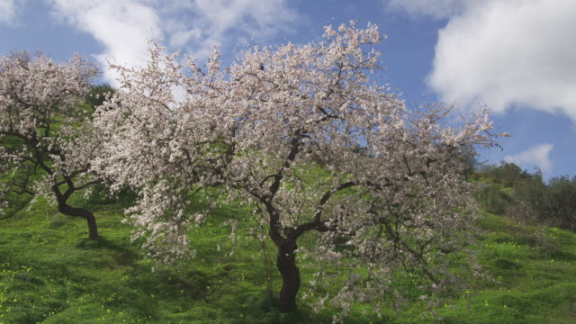 WS ZI Flowering sweet almond tree / Malaga, Andalusia, Spain