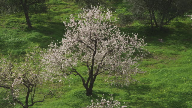 WS Flowering sweet almond tree / Malaga, Andalusia, Spain