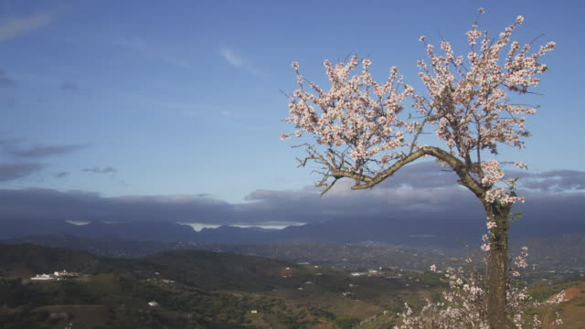 ws zi flowering sweet almond tree on hillside in the montes de malaga hills / malaga, andalusia, spain - 2k resolution stock videos and b-roll footage