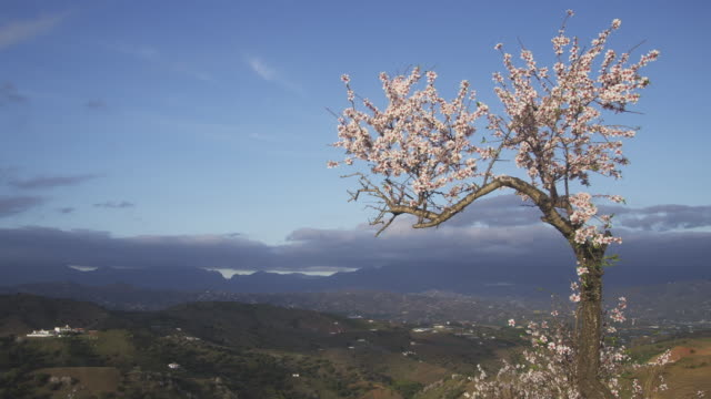 ws flowering sweet almond tree on hillside in the montes de malaga hills / malaga, andalusia, spain - 2k resolution stock videos and b-roll footage