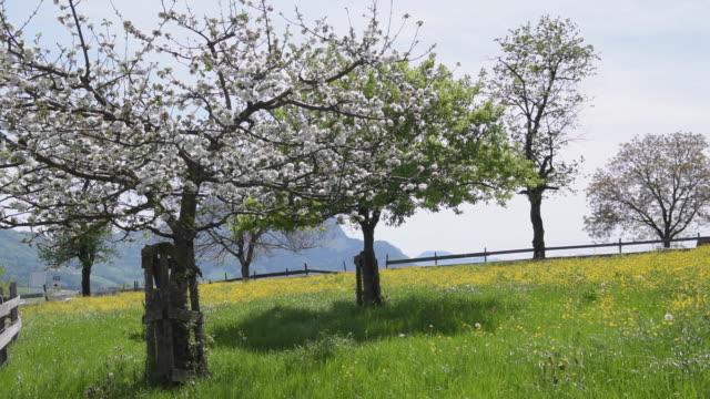 Flowering trees on buttercup meadow