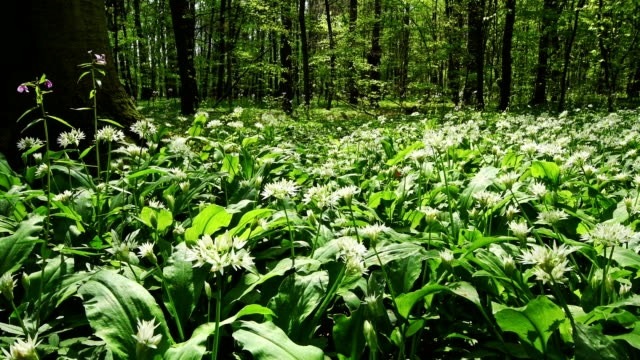 flowering wild garlic in the forest in spring, hanau, hesse, germany - 40 seconds or greater stock videos & royalty-free footage