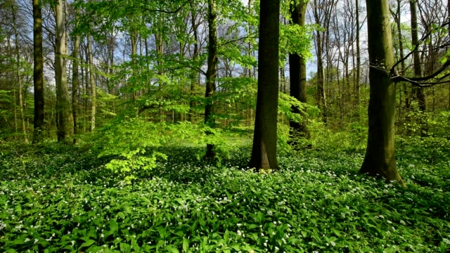 flowering wild garlic in the forest in spring, hanau, hesse, germany - 晴れている点の映像素材/bロール