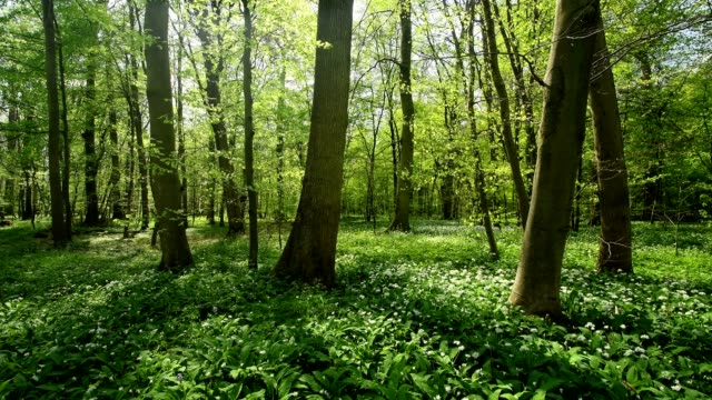 vídeos de stock, filmes e b-roll de flowering wild garlic in the forest in spring, hanau, hesse, germany - folhagem viçosa