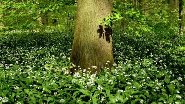 flowering wild garlic in the forest in spring, hanau, hesse, germany - tree trunk stock videos & royalty-free footage