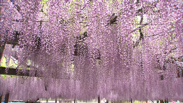 flowering wisteria hang from a trellis in japan. - fukuoka prefecture stock videos & royalty-free footage