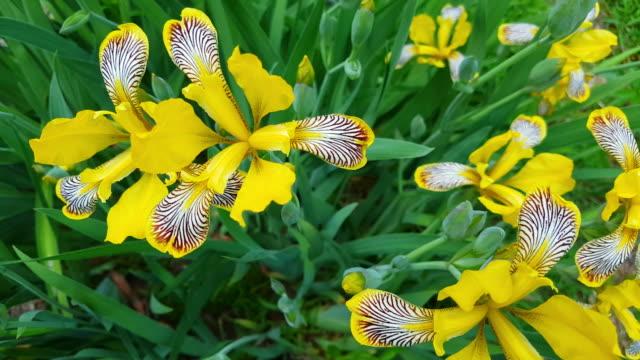vídeos y material grabado en eventos de stock de iris de bandera amarilla de floración desde la perspectiva de la abeja - lirio