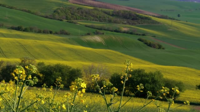 flowering yellow oilseed rape. canola oil flowers on light breeze on sunny  in spring day with green hills in background - rapeseed oil stock videos and b-roll footage
