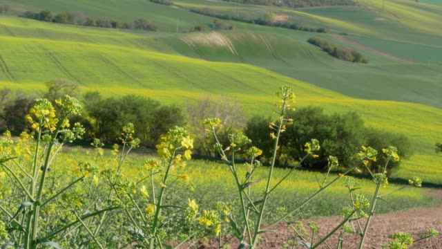 flowering yellow oilseed rape in spring. canola oil flowers on light breeze on sunny day with green hills in background - rapeseed oil stock videos and b-roll footage