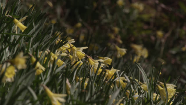 Flowering yellow wild daffodils (Narcissus pseudonarcissus), Cumbria, England