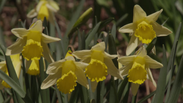 flowering yellow wild daffodils (narcissus pseudonarcissus), cumbria, england - daffodil stock videos & royalty-free footage