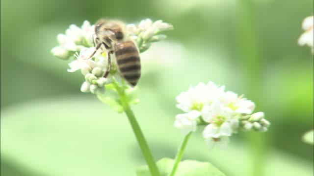 stockvideo's en b-roll-footage met flowers and honey bees   up - honingbij