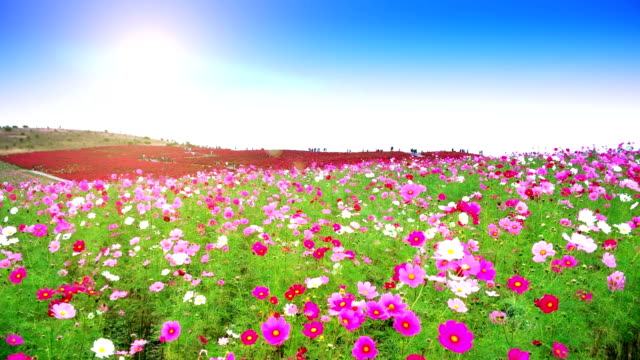 stockvideo's en b-roll-footage met bloemen en kochias heuvel op bij hitachi seaside park japan - formele tuin
