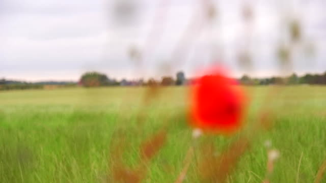 flowers and sheep coming into focus on a field in shropshire - 前ボケ点の映像素材/bロール