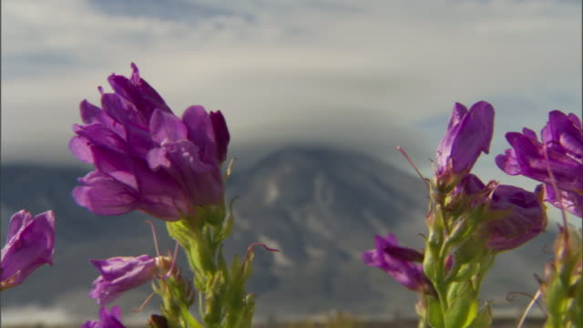 flowers bloom near mount st. helens. - national park stock videos & royalty-free footage