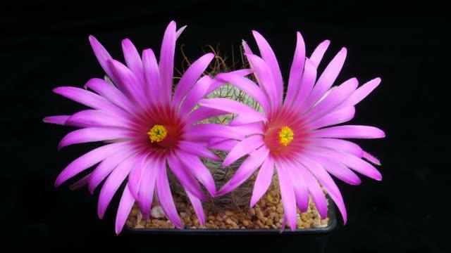 花満開のサボテンタイムラプスそれを分離します。 - ダリア点の映像素材/bロール