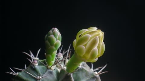 flowers blooming cactus timelapse - ändra form bildbanksvideor och videomaterial från bakom kulisserna
