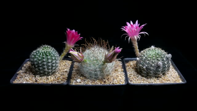 flowers blooming cactus timelapse - cactus stock videos and b-roll footage