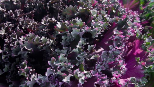 flowers blooming - アブラナ科点の映像素材/bロール