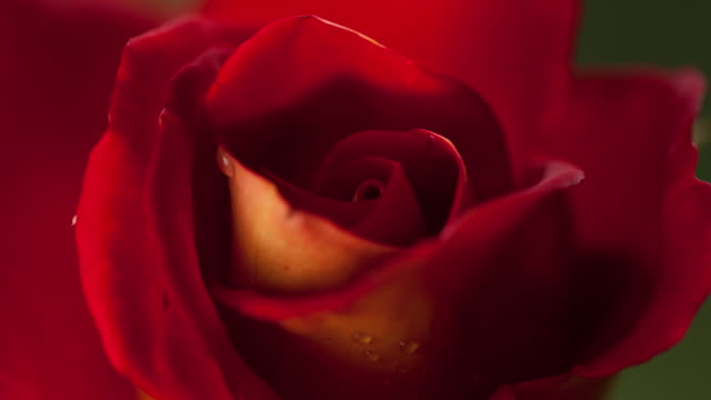 flowers blooming - rose stock videos & royalty-free footage