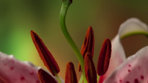 flowers blooming - lily stock videos & royalty-free footage