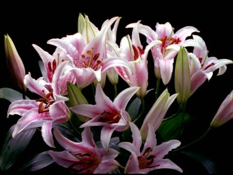 t/l flowers - bunch of pink stargazer lilies open, black background - stargazer lily stock videos & royalty-free footage