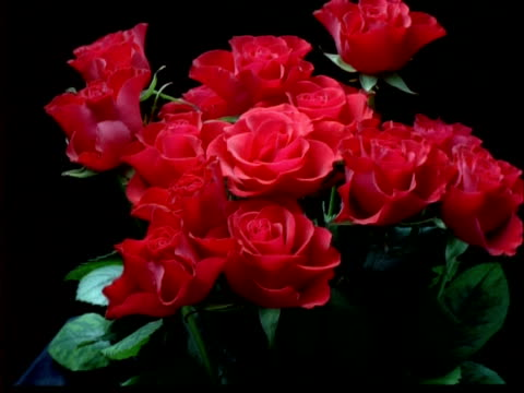 t/l flowers - bunch of red roses opens, then withers, black background - bunch of flowers stock videos and b-roll footage