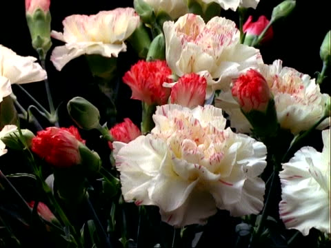 t/l flowers - bunch of various coloured carnations rotate and open, black background - bouquet stock videos & royalty-free footage