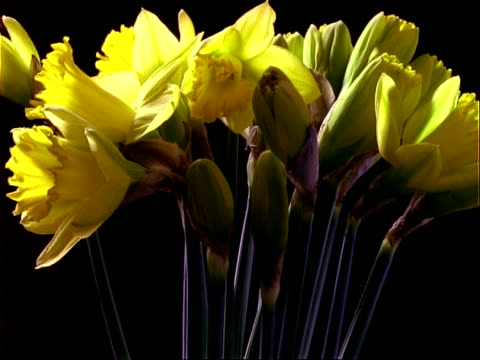 T/L flowers - bunch of yellow daffodils rotate and open, black background