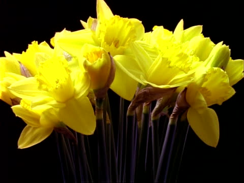 t/l flowers - bunch of yellow daffodils rotate and open, black background - daffodil stock videos & royalty-free footage