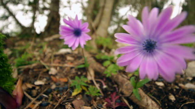 flowers, close-up starry anemone - flora lussureggiante stock videos & royalty-free footage