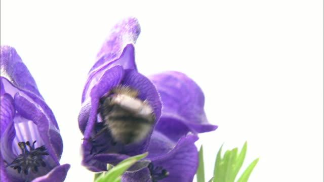 vídeos de stock e filmes b-roll de flowers daisetsuzan volcanic group hokkaid_ - estame