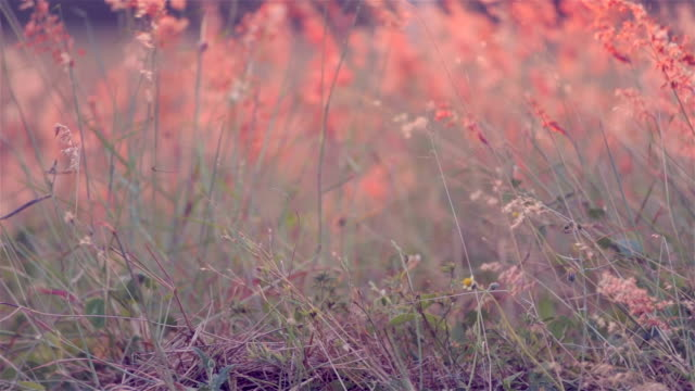 flowers grass in wind at sunset background - grass family stock videos & royalty-free footage