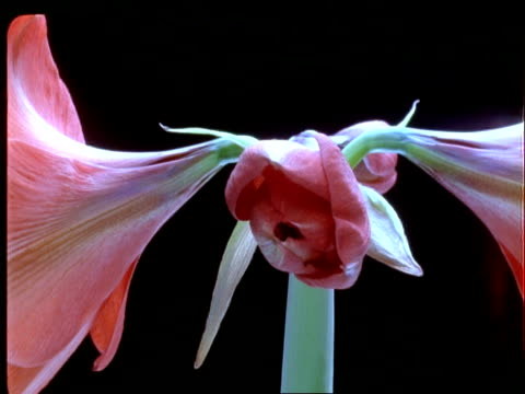 t/l flowers - cu hippeastrum flower opens, black background - keyable stock videos & royalty-free footage