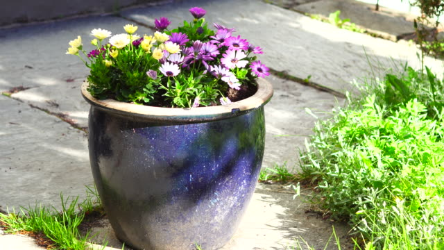 flowers in blue pot 4k - daisy stock videos & royalty-free footage