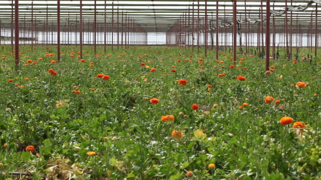 flowers in cut flower greenhouse - selimaksan stock videos & royalty-free footage