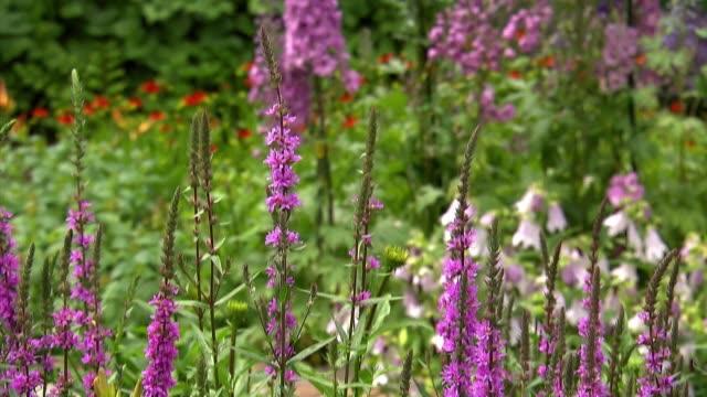 flowers in garden - ranunculus stock videos & royalty-free footage