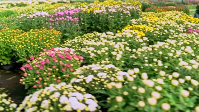 flowers in greenhouse - chrysanthemum stock videos & royalty-free footage