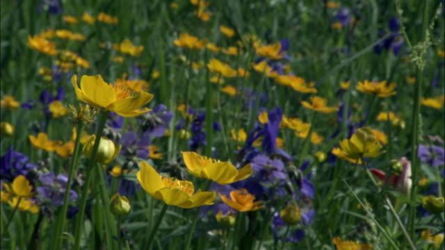 vídeos y material grabado en eventos de stock de flowers in meadow, changbaishan national nature reserve, jilin province, china - ranúnculo