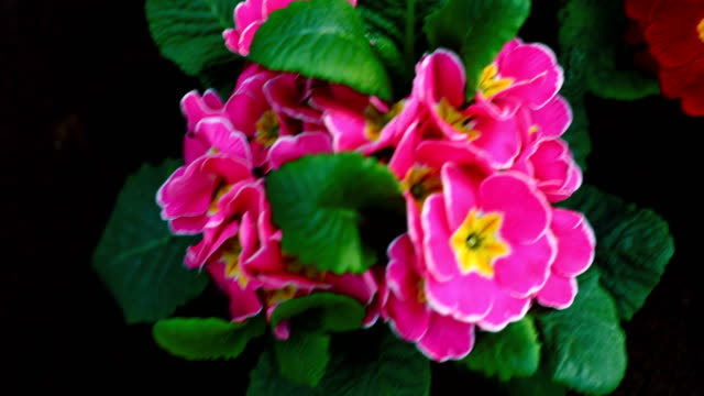 flowers in the garden - carnation flower stock videos & royalty-free footage