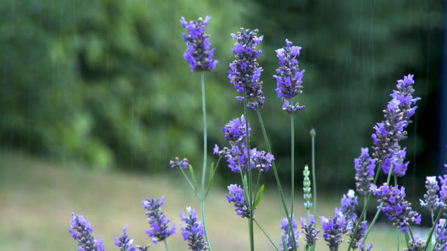 flowers in the rain - lavender stock videos & royalty-free footage